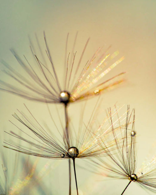 Dandelion with Droplets 11